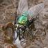 Tikramusė - Neomyia cornicina   Fotografijos autorius : Gintautas Steiblys   © Macrogamta.lt   Šis tinklapis priklauso bendruomenei kuri domisi makro fotografija ir fotografuoja gyvąjį makro pasaulį.