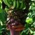 Tikrasis bananas - Musa paradisiaca | Fotografijos autorius : Gintautas Steiblys | © Macrogamta.lt | Šis tinklapis priklauso bendruomenei kuri domisi makro fotografija ir fotografuoja gyvąjį makro pasaulį.