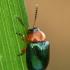 Tikrasis rūgtinukas - Gastrophysa polygoni  | Fotografijos autorius : Gintautas Steiblys | © Macrogamta.lt | Šis tinklapis priklauso bendruomenei kuri domisi makro fotografija ir fotografuoja gyvąjį makro pasaulį.