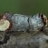 Tošinis kuoduotis - Phalera bucephala | Fotografijos autorius : Žilvinas Pūtys | © Macrogamta.lt | Šis tinklapis priklauso bendruomenei kuri domisi makro fotografija ir fotografuoja gyvąjį makro pasaulį.