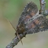Tramažolinis pelėdgalvis - Charanyca ferruginea   Fotografijos autorius : Gintautas Steiblys   © Macrogamta.lt   Šis tinklapis priklauso bendruomenei kuri domisi makro fotografija ir fotografuoja gyvąjį makro pasaulį.
