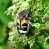 Raštuotasis auksavabalis - Trichius fasciatus   Fotografijos autorius : Vitalii Alekseev   © Macrogamta.lt   Šis tinklapis priklauso bendruomenei kuri domisi makro fotografija ir fotografuoja gyvąjį makro pasaulį.