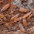 Tripsas - Phlaeothripidae, lervos | Fotografijos autorius : Žilvinas Pūtys | © Macrogamta.lt | Šis tinklapis priklauso bendruomenei kuri domisi makro fotografija ir fotografuoja gyvąjį makro pasaulį.