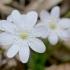 Triskiautė žibuoklė (Hepatica nobilis) | Fotografijos autorius : Gediminas Gražulevičius | © Macrogamta.lt | Šis tinklapis priklauso bendruomenei kuri domisi makro fotografija ir fotografuoja gyvąjį makro pasaulį.