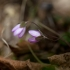 Triskiautė žibuoklė - Hepatica nobilis | Fotografijos autorius : Zita Gasiūnaitė | © Macrogamta.lt | Šis tinklapis priklauso bendruomenei kuri domisi makro fotografija ir fotografuoja gyvąjį makro pasaulį.