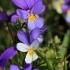 Trispalvė našlaitė - Viola tricolor   Fotografijos autorius : Ramunė Vakarė   © Macrogamta.lt   Šis tinklapis priklauso bendruomenei kuri domisi makro fotografija ir fotografuoja gyvąjį makro pasaulį.