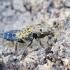 Trumapsparnis - Ontholestes murinus | Fotografijos autorius : Romas Ferenca | © Macrogamta.lt | Šis tinklapis priklauso bendruomenei kuri domisi makro fotografija ir fotografuoja gyvąjį makro pasaulį.