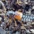 Trumpasparnis - Bledius longulus | Fotografijos autorius : Romas Ferenca | © Macrogamta.lt | Šis tinklapis priklauso bendruomenei kuri domisi makro fotografija ir fotografuoja gyvąjį makro pasaulį.