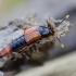 Trumpasparnis - Bolitobius cingulatus | Fotografijos autorius : Romas Ferenca | © Macrogamta.lt | Šis tinklapis priklauso bendruomenei kuri domisi makro fotografija ir fotografuoja gyvąjį makro pasaulį.