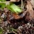 Trumpasparnis - Lomechusoides strumosus | Fotografijos autorius : Romas Ferenca | © Macrogamta.lt | Šis tinklapis priklauso bendruomenei kuri domisi makro fotografija ir fotografuoja gyvąjį makro pasaulį.