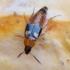 Trumpasparnis - Lordithon lunulatus   Fotografijos autorius : Romas Ferenca   © Macrogamta.lt   Šis tinklapis priklauso bendruomenei kuri domisi makro fotografija ir fotografuoja gyvąjį makro pasaulį.
