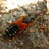 Trumpasparnis - Platydracus stercorarius | Fotografijos autorius : Vitalii Alekseev | © Macrogamta.lt | Šis tinklapis priklauso bendruomenei kuri domisi makro fotografija ir fotografuoja gyvąjį makro pasaulį.