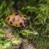 Trylikataškė boružė - Hippodamia tredecimpunctata   Fotografijos autorius : Kazimieras Martinaitis   © Macrogamta.lt   Šis tinklapis priklauso bendruomenei kuri domisi makro fotografija ir fotografuoja gyvąjį makro pasaulį.