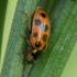 Trylikataškė boružė - Hippodamia tredecimpunctata | Fotografijos autorius : Vidas Brazauskas | © Macrogamta.lt | Šis tinklapis priklauso bendruomenei kuri domisi makro fotografija ir fotografuoja gyvąjį makro pasaulį.