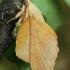 Tuopalapis verpikas - Gastropacha populifolia | Fotografijos autorius : Gintautas Steiblys | © Macrogamta.lt | Šis tinklapis priklauso bendruomenei kuri domisi makro fotografija ir fotografuoja gyvąjį makro pasaulį.