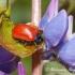 Tuopinis gluosninukas (Chrysomela populi) | Fotografijos autorius : Aleksandras Naryškin | © Macrogamta.lt | Šis tinklapis priklauso bendruomenei kuri domisi makro fotografija ir fotografuoja gyvąjį makro pasaulį.