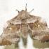 Tuopinis sfinksas - Laothoe populi | Fotografijos autorius : Mantas Kaupys | © Macrogamta.lt | Šis tinklapis priklauso bendruomenei kuri domisi makro fotografija ir fotografuoja gyvąjį makro pasaulį.