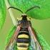 Tuopinis stiklasparnis - Sesia apiformis | Fotografijos autorius : Gintautas Steiblys | © Macrogamta.lt | Šis tinklapis priklauso bendruomenei kuri domisi makro fotografija ir fotografuoja gyvąjį makro pasaulį.