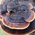 Tvorinis tinklūnas - Gloeophyllum sepiadium | Fotografijos autorius : Vitalij Drozdov | © Macrogamta.lt | Šis tinklapis priklauso bendruomenei kuri domisi makro fotografija ir fotografuoja gyvąjį makro pasaulį.
