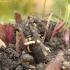 Žolinė kalicina - Calycina herbarum | Fotografijos autorius : Vytautas Gluoksnis | © Macrogamta.lt | Šis tinklapis priklauso bendruomenei kuri domisi makro fotografija ir fotografuoja gyvąjį makro pasaulį.