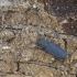Ąžuolinis plokščiavabalis - Uleiota planata | Fotografijos autorius : Giedrius Markevičius | © Macrogamta.lt | Šis tinklapis priklauso bendruomenei kuri domisi makro fotografija ir fotografuoja gyvąjį makro pasaulį.