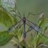 Uodas - Ptychoptera albimana ♂ | Fotografijos autorius : Žilvinas Pūtys | © Macrogamta.lt | Šis tinklapis priklauso bendruomenei kuri domisi makro fotografija ir fotografuoja gyvąjį makro pasaulį.