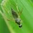 Musė - Platypalpus sp. | Fotografijos autorius : Vidas Brazauskas | © Macrogamta.lt | Šis tinklapis priklauso bendruomenei kuri domisi makro fotografija ir fotografuoja gyvąjį makro pasaulį.