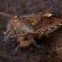 Uoginė skydblakė - Dolycoris baccarum | Fotografijos autorius : Žilvinas Pūtys | © Macrogamta.lt | Šis tinklapis priklauso bendruomenei kuri domisi makro fotografija ir fotografuoja gyvąjį makro pasaulį.