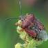 Rausvasparnė skydblakė - Carpocoris purpureipennis | Fotografijos autorius : Gintautas Steiblys | © Macrogamta.lt | Šis tinklapis priklauso bendruomenei kuri domisi makro fotografija ir fotografuoja gyvąjį makro pasaulį.