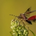 Uoginė skydblakė - Dolycoris baccarum | Fotografijos autorius : Dalia Račkauskaitė | © Macrogamta.lt | Šis tinklapis priklauso bendruomenei kuri domisi makro fotografija ir fotografuoja gyvąjį makro pasaulį.