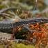 Uolinis driežas - Darevskia cf. derjugini | Fotografijos autorius : Gintautas Steiblys | © Macrogamta.lt | Šis tinklapis priklauso bendruomenei kuri domisi makro fotografija ir fotografuoja gyvąjį makro pasaulį.