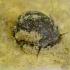 Upinė rainytė - Theodoxus fluviatilis | Fotografijos autorius : Romas Ferenca | © Macrogamta.lt | Šis tinklapis priklauso bendruomenei kuri domisi makro fotografija ir fotografuoja gyvąjį makro pasaulį.