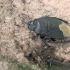 Gelsvauodegė urvablakė - Cydnus aterrimus | Fotografijos autorius : Gintautas Steiblys | © Macrogamta.lt | Šis tinklapis priklauso bendruomenei kuri domisi makro fotografija ir fotografuoja gyvąjį makro pasaulį.