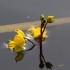 Pelkinis skendenis - Utricularia australis | Fotografijos autorius : Jogaila Mackevičius | © Macrogamta.lt | Šis tinklapis priklauso bendruomenei kuri domisi makro fotografija ir fotografuoja gyvąjį makro pasaulį.