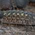 Vėdarėlis - Porcellio spinicornis | Fotografijos autorius : Gintautas Steiblys | © Macrogamta.lt | Šis tinklapis priklauso bendruomenei kuri domisi makro fotografija ir fotografuoja gyvąjį makro pasaulį.