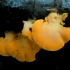 Vėduoklinė meškaitė - Phyllotopsis nidulans | Fotografijos autorius : Aleksandras Stabrauskas | © Macrogamta.lt | Šis tinklapis priklauso bendruomenei kuri domisi makro fotografija ir fotografuoja gyvąjį makro pasaulį.