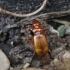 Rusvasis giriažygis - Leistus ferrugineus | Fotografijos autorius : Vytautas Gluoksnis | © Macrogamta.lt | Šis tinklapis priklauso bendruomenei kuri domisi makro fotografija ir fotografuoja gyvąjį makro pasaulį.