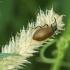 Paprastasis gauravabalis - Lagria hirta | Fotografijos autorius : Vidas Brazauskas | © Macrogamta.lt | Šis tinklapis priklauso bendruomenei kuri domisi makro fotografija ir fotografuoja gyvąjį makro pasaulį.