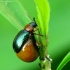 Tikrasis rūgtinukas - Gastrophysa polygoni | Fotografijos autorius : Vidas Brazauskas | © Macrogamta.lt | Šis tinklapis priklauso bendruomenei kuri domisi makro fotografija ir fotografuoja gyvąjį makro pasaulį.