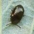 Variaspalvis juodvabalis - Scaphidema metallicum | Fotografijos autorius : Vidas Brazauskas | © Macrogamta.lt | Šis tinklapis priklauso bendruomenei kuri domisi makro fotografija ir fotografuoja gyvąjį makro pasaulį.