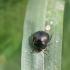 Dobilinė kamuolblakė - Coptosoma scutellatum | Fotografijos autorius : Agnė Našlėnienė | © Macrogamta.lt | Šis tinklapis priklauso bendruomenei kuri domisi makro fotografija ir fotografuoja gyvąjį makro pasaulį.