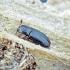 Krypūnėliškasis skaptavabalis - Cerylon histeroides | Fotografijos autorius : Kazimieras Martinaitis | © Macrogamta.lt | Šis tinklapis priklauso bendruomenei kuri domisi makro fotografija ir fotografuoja gyvąjį makro pasaulį.