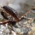 Ligidium hypnorum | Fotografijos autorius : Ramunė Vakarė | © Macrogamta.lt | Šis tinklapis priklauso bendruomenei kuri domisi makro fotografija ir fotografuoja gyvąjį makro pasaulį.