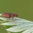 Žvilgvabalis - Epuraea sp. | Fotografijos autorius : Gintautas Steiblys | © Macrogamta.lt | Šis tinklapis priklauso bendruomenei kuri domisi makro fotografija ir fotografuoja gyvąjį makro pasaulį.