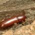 Vienspalvis juodvabalis - Hypophloeus [=Corticeus] unicolor | Fotografijos autorius : Vidas Brazauskas | © Macrogamta.lt | Šis tinklapis priklauso bendruomenei kuri domisi makro fotografija ir fotografuoja gyvąjį makro pasaulį.