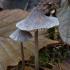Vagotakotė šalmabudė - Mycena polygramma | Fotografijos autorius : Žilvinas Pūtys | © Macrogamta.lt | Šis tinklapis priklauso bendruomenei kuri domisi makro fotografija ir fotografuoja gyvąjį makro pasaulį.