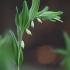 Vaistinė baltašaknė - Polygonatum odoratum   Fotografijos autorius : Agnė Našlėnienė   © Macrogamta.lt   Šis tinklapis priklauso bendruomenei kuri domisi makro fotografija ir fotografuoja gyvąjį makro pasaulį.