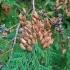 Vakarinė tuja - Thuja occidentalis | Fotografijos autorius : Gintautas Steiblys | © Macrogamta.lt | Šis tinklapis priklauso bendruomenei kuri domisi makro fotografija ir fotografuoja gyvąjį makro pasaulį.
