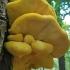 Valgomoji geltonpintė - Laetiporus sulphureus   Fotografijos autorius : Gintautas Steiblys   © Macrogamta.lt   Šis tinklapis priklauso bendruomenei kuri domisi makro fotografija ir fotografuoja gyvąjį makro pasaulį.