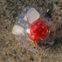 Vandeninė erkė - Eylais sp.? | Fotografijos autorius : Agnė Našlėnienė | © Macrogamta.lt | Šis tinklapis priklauso bendruomenei kuri domisi makro fotografija ir fotografuoja gyvąjį makro pasaulį.
